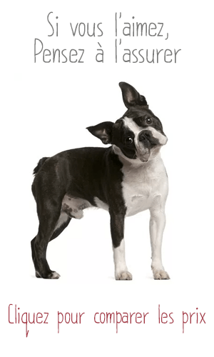 Assurance pour Boston Terrier