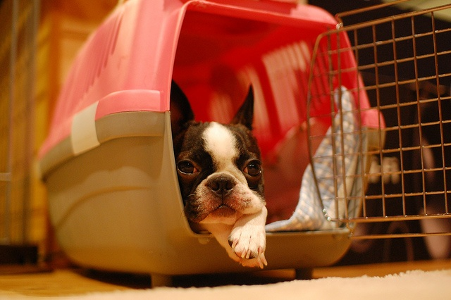 Boston Terrier en route pour le vétérinaire