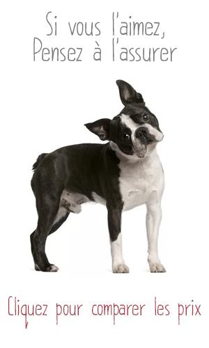 Assurance pour Boston Terrier
