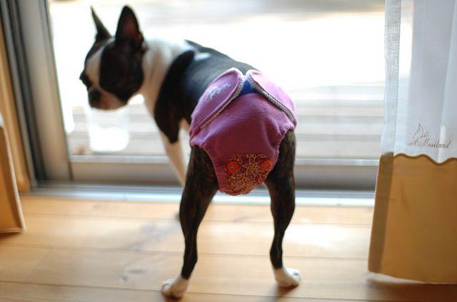 Dressage Boston Terrier qui fait ses besoins