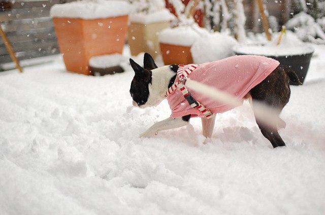 Boston terrier dans la neige