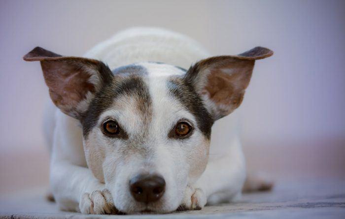 Les races de chiens terriers