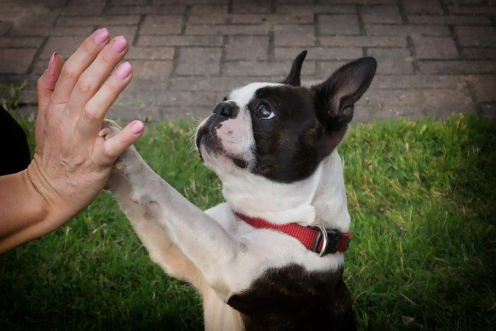 Adopter Boston Terrier