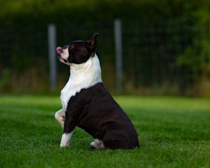 Dressage boston terrier
