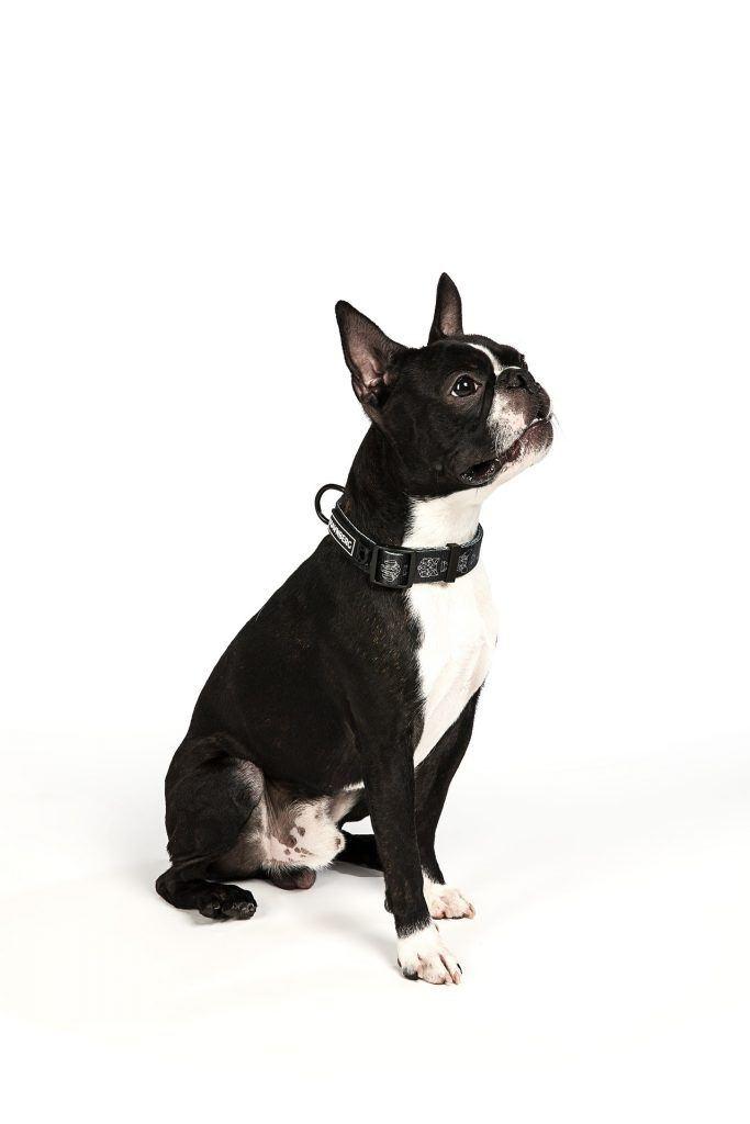 Toilettage boston terrier