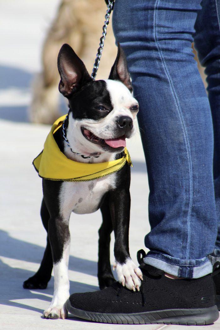 Boston terrier lien